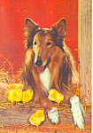 Collie Dog with Chicks  Postcard