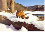 Click here to enlarge image and see more about item cs2325: Mink along a winter stream Postcard