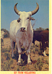 Click here to enlarge image and see more about item cs2345: Brahma Bull Oklahoma Postcard cs2345