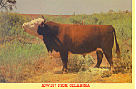 Click here to enlarge image and see more about item cs2346: Hereford Bull Oklahoma Postcard cs2346