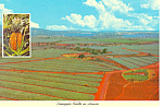 Pineapple Fields in Hawaii  Postcard cs2392