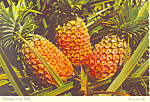 Pineapples in the  Field Hawaii  Postcard cs2401