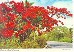 Hawaiian Royal Poinciana Tree Postcard cs2406
