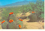 Click here to enlarge image and see more about item cs2412: Barrel Cactus on the Desert Postcard cs2412