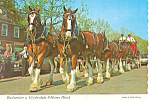 Click here to enlarge image and see more about item cs2415: Budweiser Clydesdale 8 Horse Hitch Postcard