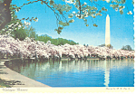 Washington Monument Cherry Trees Postcard