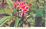 Pink Plumeria Blossoms Hawaii Postcard cs2485