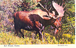 Click here to enlarge image and see more about item cs2502: Bull Moose in Alaska Postcard cs2502