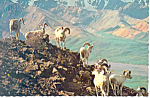 Click here to enlarge image and see more about item cs2510: Alaskan Dall Sheep Rams Postcard cs2510