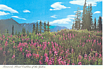 Click here to enlarge image and see more about item cs2523: Fireweed Floral Emblem of the Yukon Postcard