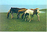 Click here to enlarge image and see more about item cs2568: Chincoteague Ponies Assateague Island VA Postcard cs2568