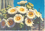 Click here to enlarge image and see more about item cs2801: Saguaro Cactus Flowers