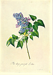 Purple Lilac G D Ehret Postcard cs3340