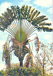 Click here to enlarge image and see more about item cs3608: The Traveller's Tree Antilles Radieuses