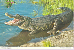 Click here to enlarge image and see more about item cs4080: A Florida Alligator