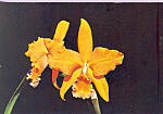 Apricot Glory Gold Coast Orchid Postcard cs4150