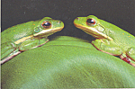 Click here to enlarge image and see more about item cs4200: Green Tree Frogs Postcard cs4200