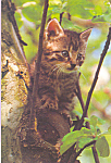 Click here to enlarge image and see more about item cs4211: Little Tabby Kitten Postcard cs4211