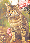 Click here to enlarge image and see more about item cs4212: Tabby Cat Postcard cs4212