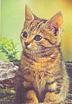 Curious Tabby Cat Postcard cs4215
