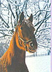 Click here to enlarge image and see more about item cs4218: Horse with snow on head Postcard cs4218
