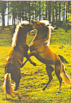 Click here to enlarge image and see more about item cs4221: Rearing Horses Postcard cs4221