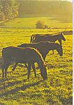 Click here to enlarge image and see more about item cs4234: Horses Grazing Postcard cs4234