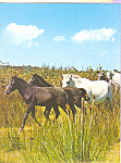 Click here to enlarge image and see more about item cs4238: Horse Herd Postcard cs4238