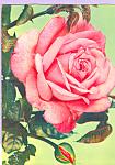Jolies Roses De France Grace De Monoco
