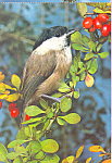 Marsh Tit Postcard cs4260