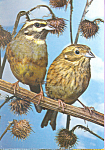 Cirl Buntings Postcard cs4261