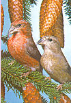 Crossbills Postcard cs4262