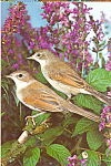 Common Whitethroats Postcard cs4263