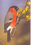 Bullfinch Postcard cs4264