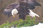 The Bald Eagle Our National Symbol  Postcard cs4277