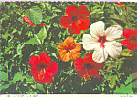 Beautiful Tropical Hibiscus Postcard cs4280