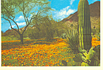 Click here to enlarge image and see more about item cs4298: Prickly Pear and Saguaro Cactus Postcard cs4298