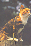 Click here to enlarge image and see more about item cs4303: Calico Cat Postcard cs4303