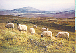 Click here to enlarge image and see more about item cs4457: Highland Black Face Sheep Postcard cs4457