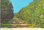 Click here to enlarge image and see more about item cs4653: Orange Groves in Florida Postcard cs4653