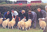 Click here to enlarge image and see more about item cs4742: Sheep Judging Postcard cs4742