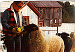 Rancher Feeding Sheep Postcard cs4940