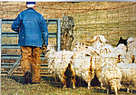 Click here to enlarge image and see more about item cs4944: Rancher with Flock of Goats Postcard cs4944