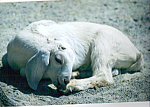 Click here to enlarge image and see more about item cs4945: Sheep at Rest