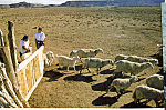 Click here to enlarge image and see more about item cs4947: Ranchers with Flock of Sheep