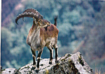 Click here to enlarge image and see more about item cs4949: Walia Ibex Postcard cs4949