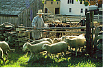 Click here to enlarge image and see more about item cs4951: Rancher with Flock of Sheep Postcard cs4951