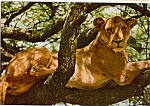 Click here to enlarge image and see more about item cs5101: Lioness at Lake Mantara Kenya Postcard cs5101