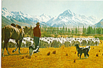 Flock Sheep at Glentanner Station Canterbury NZ cs5102