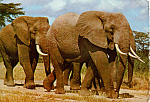 Click here to enlarge image and see more about item cs5107: East African Game Elephants Postcard cs5107